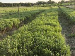 Lavender cuttings and seedlings