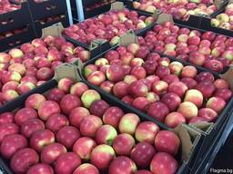 Polish apples, La-Sad - photo 8