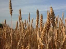 Пшеница мягкая, твердая, ячмень, лен, кукурузу, подсолнечник